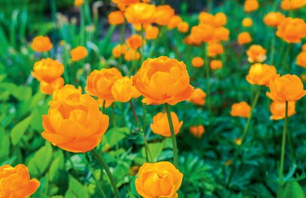 Купальница: согласно скандинавским легендам, это растение - любимый цветок троллей. Кстати, его латинское название - Trollius