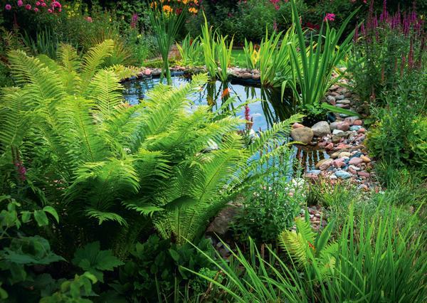 Идеальное место для большинства папоротников — прибрежная зона водоема, расположенного в тени. Такие условия максимально комфортны для развития этих растений