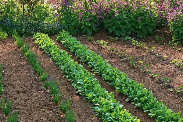 В смешанной культуре шпинат – идеальный сосед для садовой земляники, лука, кольраби, кочанной капусты и фасоли. А вот мангольду, красной свекле и прочим представителям семейства Амарантовые такое соседство противопоказано