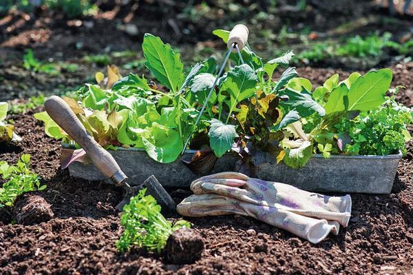 Кольраби и кочанный салат можно высаживать на грядку уже в середине мая
