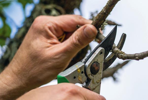 Добиться высоких и устойчивых урожаев можно с помощью обрезки и формирования кроны деревьев