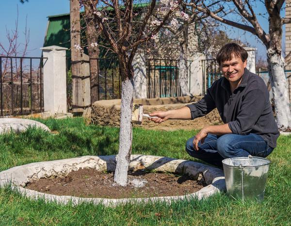 Когда и зачем нужно белить стволы садовых деревьев?