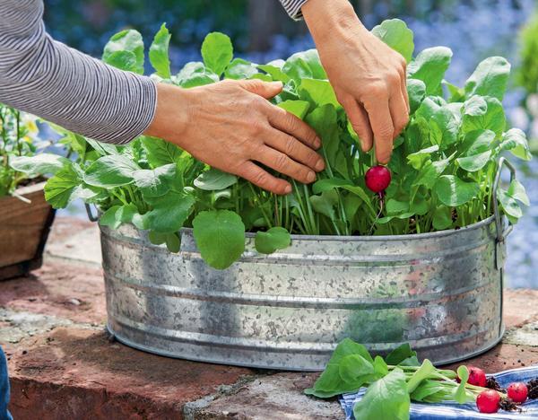 Для выращивания в ящиках и горшках годится редис любого сорта