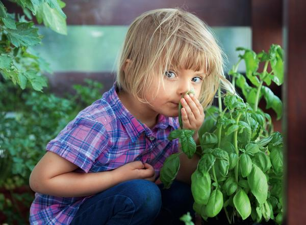 Чем пахнет базилик?