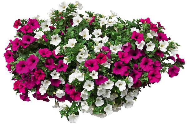 Яркая и неприхотливая петуния порадует цветением в течение всего сезона. Вам нужно лишь подобрать для нее подходящий горшок или кашпо