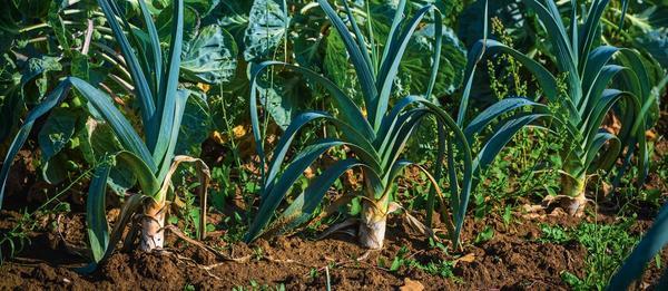 Жемчужный лук - одно из названий лука-порея