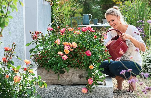 Желто-розовая Firebird растет в компании перца чили. Чтобы роза не подхватила мучнистую росу, ее, как и всех остальных ее сестриц, нужно поливать под корень, избегая намокания листьев. Взрослая красавица достигает в высоту 70 см