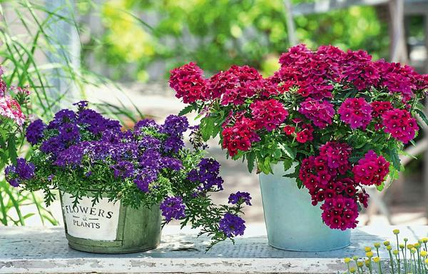 Достойные солисты броской расцветки: из горшка живописно поникает фиолетовая вербена Carpet Violet, рядом компактным кустиком растет винно-красная Merlot из серии Estrella