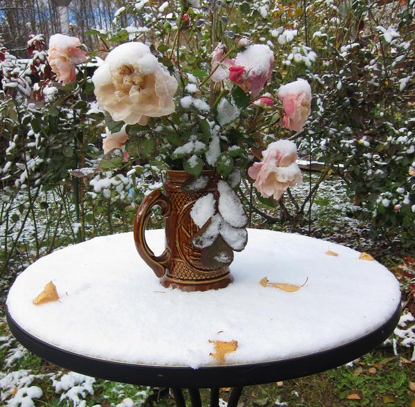 Готовим розы к зиме
