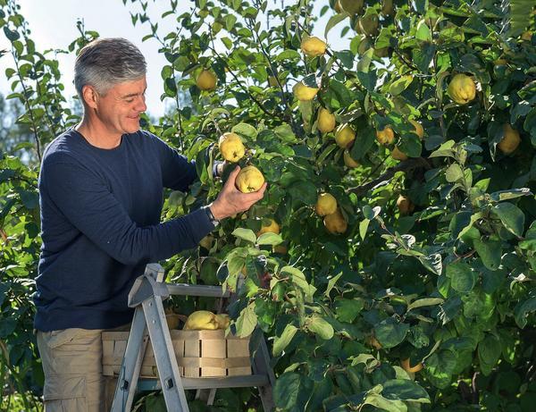 Чем дольше плоды айвы остаются на дереве, тем выразительнее их вкус и аромат