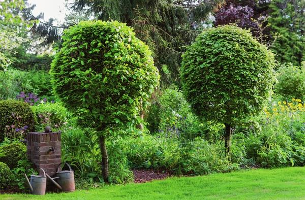 Кроне бука лесного (Fagus sylvatica) легко придать форму шара