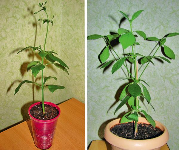 Клеродендрум угандийский до и после пересадки. Фото Павла Зимина