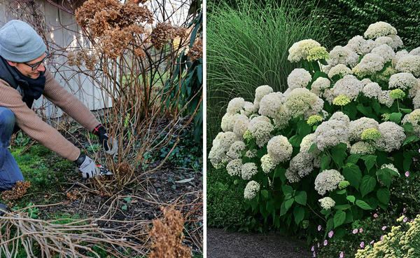 Слева: гортензию древовидную можно сильно обрезать каждую весну.  Справа: гортензия древовидная Annabelle