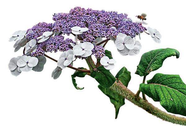 Гортензия Саржента (Hydrangea sargentiana)