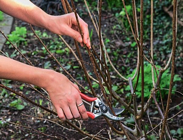 Сильная обрезка способствует цветению гортензии метельчатой