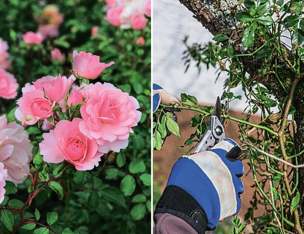 Слева: клумбовая роза Bonica 82. Справа: укоротите боковые побеги на однолетних приростах до 3-5 почек