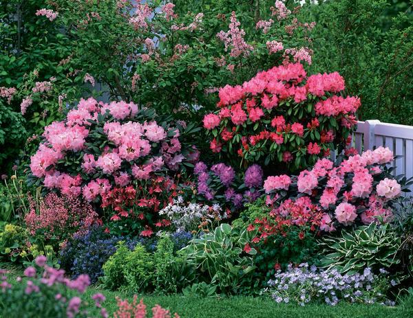 Практически в каждом саду рано или поздно появляются рододендроны