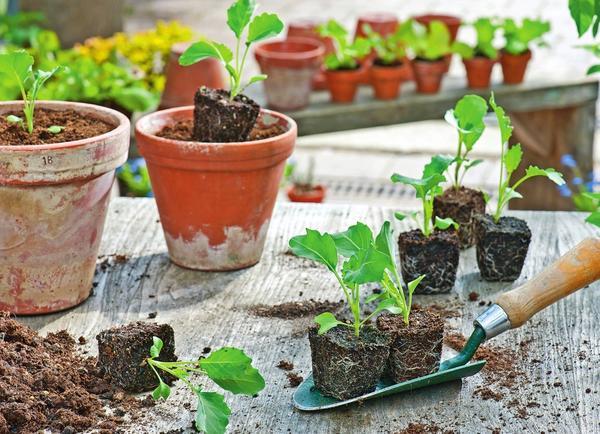 Кольраби - одна из самых скороспелых овощных культур