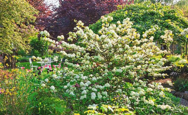 Калина очень декоративна, неприхотлива и уместна в любом саду