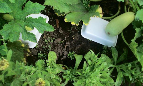 Как продлить сбор урожая кабачков до заморозков