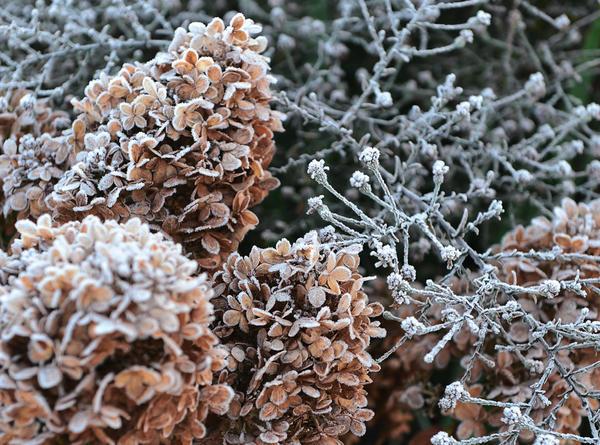 В ноябре засохшие соцветия гортензии метельчатой Limelight не менее эффектны, чем в разгар сезона