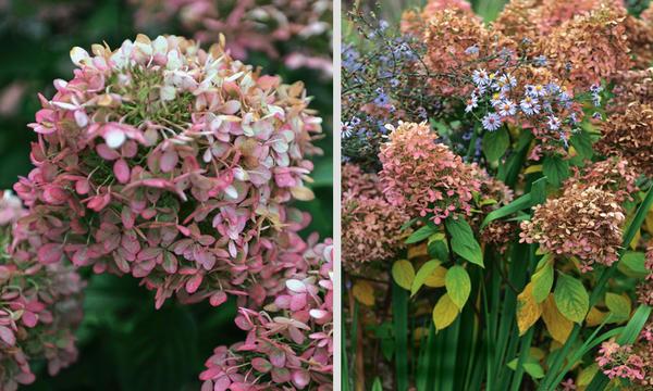 Соцветия гортензии становятся розовыми в сентябре (слева) и коричневыми - в октябре (справа)