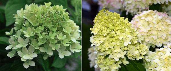 В июле соцветия еще зеленые (слева), в августе они белеют и на них появляется легкий румянец (справа)