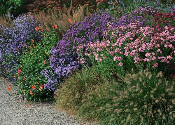Осенние астры — садовая классика сентября и октября