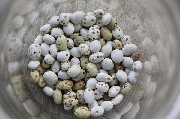 Зерна, поврежденные фасолевой зерновкой