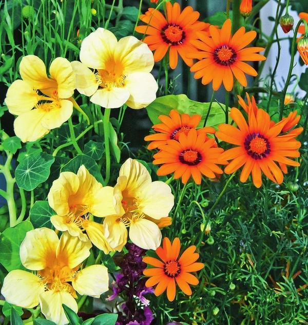 Невероятно, но у этого садового летника могут быть не только оранжевые или красные, но и белые цветки