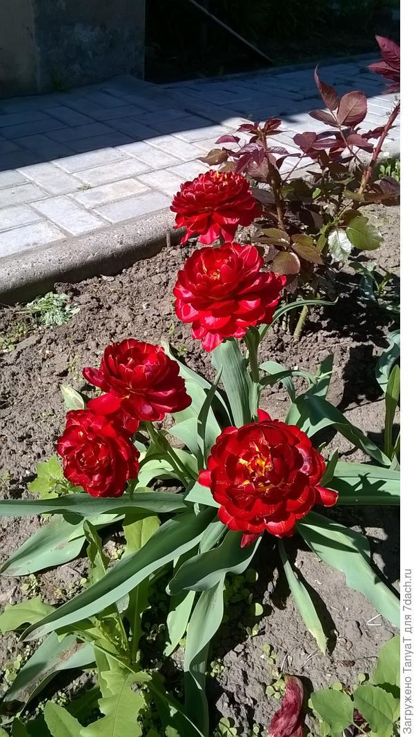 тюльпаны у мамы