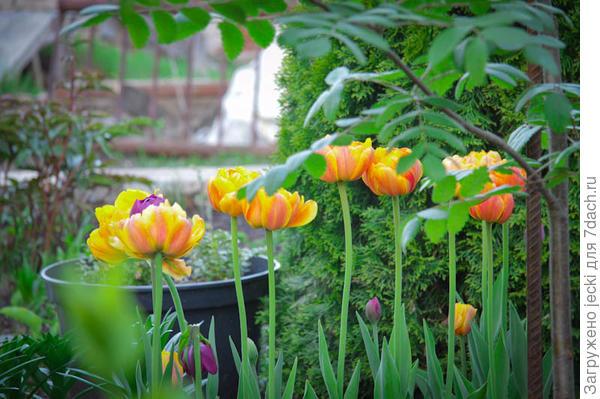 Sunlover украсит собой любой уголок весеннего сада