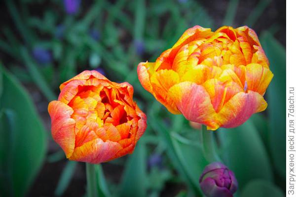Тюльпан Sunlover