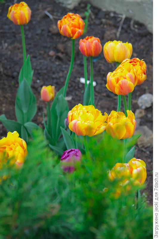 Тюльпаны дружно зацветают и долго цветут