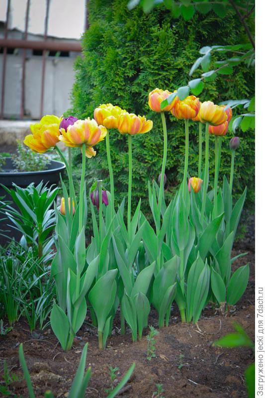 Высокие и прочные цветоносы - важное достоинство цветка