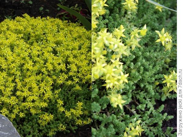 Низенький почвопокровник (не более 10 см), быстро осваивает территорию, еще и цветет, как оказалось))) Склоняюсь к тому, что это какой-то очиток.