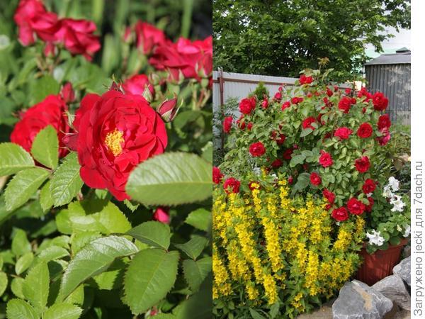 Плетистая роза. Какой сорт? Очень быстро и мощно развивается, обильно цветет с конца июня, хорошо зимует под укрытием (в Башкирии), быстро нарастает весной.