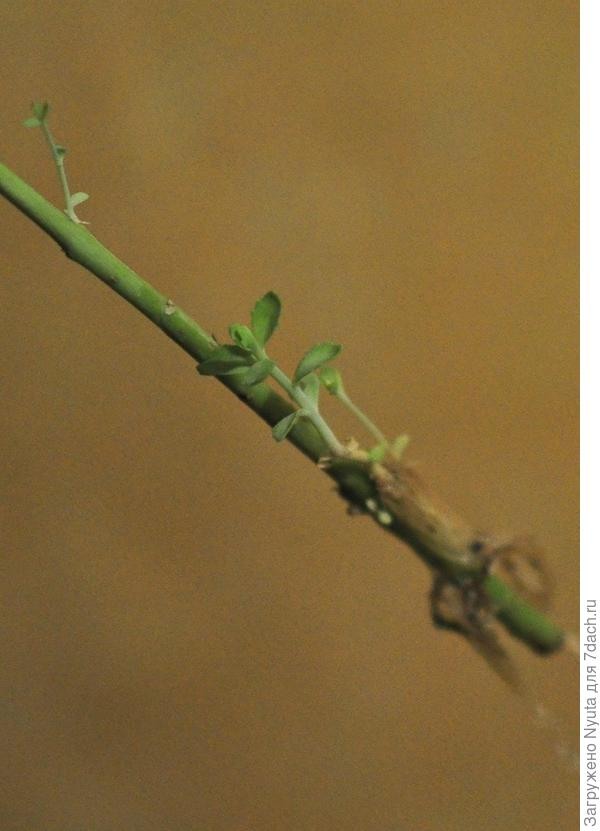 корни и ростки