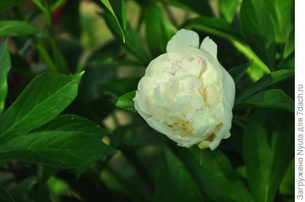 пион с розовым