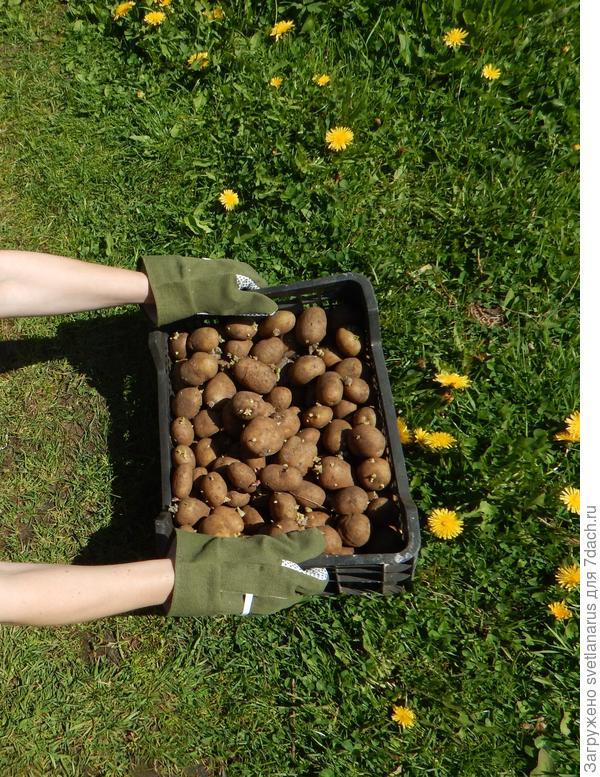 сажаем картошку