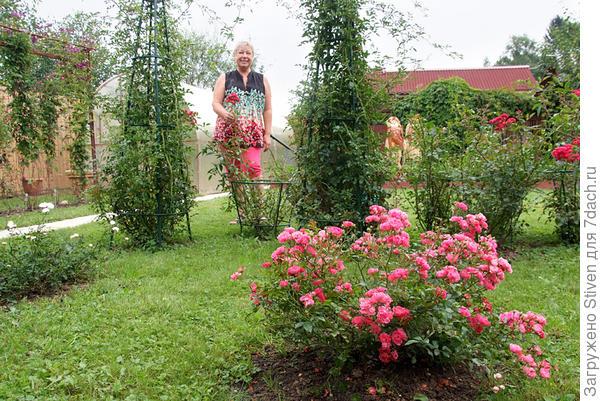 Розы на нашем участке
