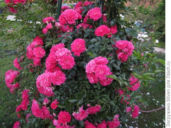 Махровые плетистые  розы
