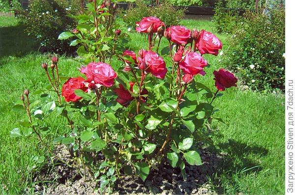 Розовые карликовые розы