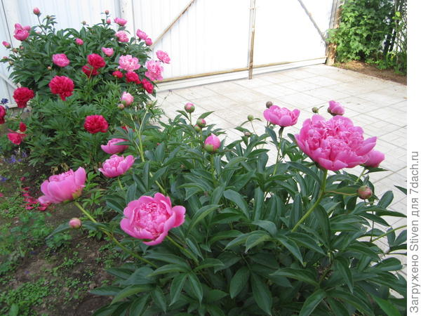 Розовые и красные пионы