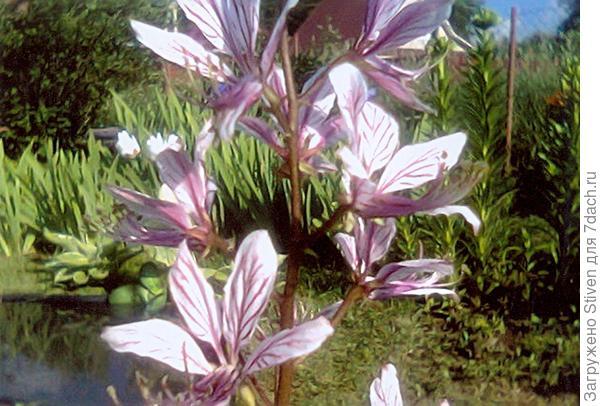 Цветы ясенца