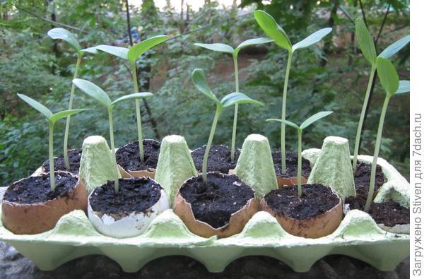 Проращивание семян огурцов в яичной скорлупе