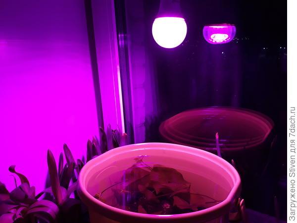 Лампочка для подсветки моего водного цветка, который зимует у меня в ведре на подоконнике