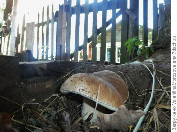 грибы у дома