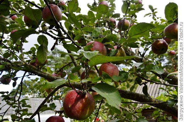Яблоньку за яблочки любят,пчёлку за мёд.