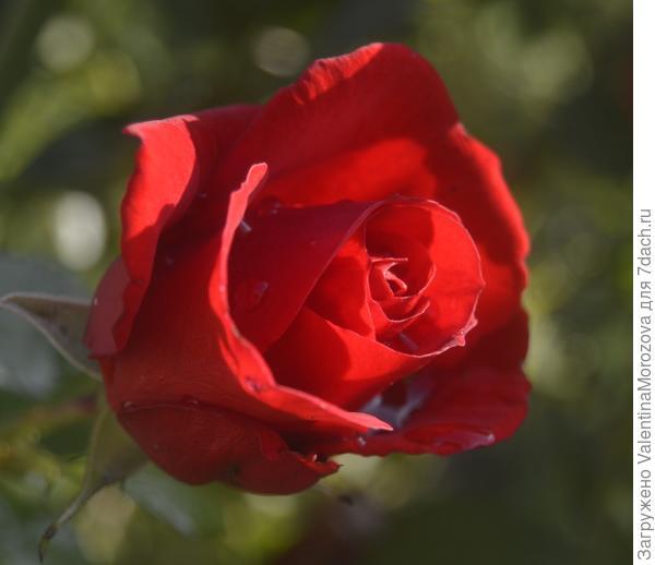 Роза для Вас.